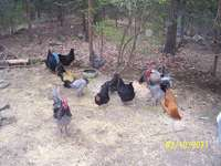 Chickens_in_pen